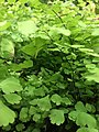 Green leaves 4 2019-06-22.jpg