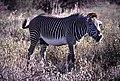 Grevy's Zebra (Equus grevyi) (48984753968).jpg