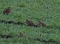 Grey Partridge (Perdix perdix), Altcar Moss - geograph.org.uk - 666942.jpg