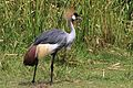 Grey crowned crane (Balearica regulorum gibbericeps).jpg