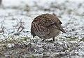 Grey partridge (47369483521).jpg