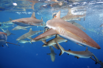 Pacific Remote Islands Marine National Monument - Grey reef sharks, Pacific Remote Islands MNM