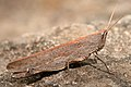 Grose Valley grasshopper (4364592358).jpg