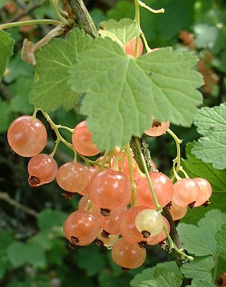 White currant - Image: Groseilles blanches