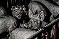 Group pig pen 2.jpg