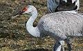 Grus canadensis (Sandhill Crane) 47.jpg