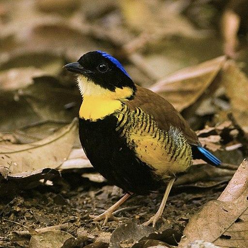 Gurney's Pitta (male) - Pitta gurneyi (3466943227)
