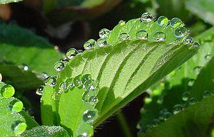 Guttation - Guttation on a strawberry leaf