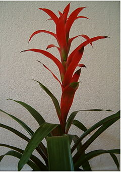 Guzmania Hybrid Rana Orange Habitus.jpg