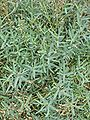 Gypsophila repens 1.JPG
