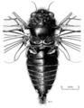 HEMI Cicadidae Maoricicada phaoptera m.png
