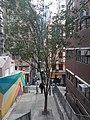 HK SW 上環 Sheung Wan 水池里 Tank Lane tree February 2020 SS2 03.jpg