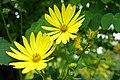 Halifax NS-02362 - Garden Flower (28958747352).jpg
