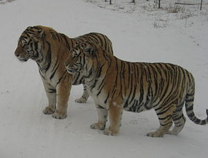 Siberian Tiger Introduction Project - Two Siberian tigers at Harbin Siberian Tiger Park, Northeast China.