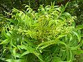 Harpephyllum caffrum, loof en bloeiwyses, b, Manie vd Schijff BT.jpg