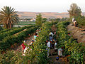 Harvest time in the vineyard.jpg