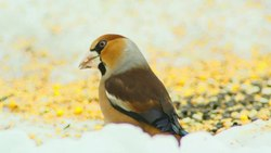 File:Hawfinch (Coccothraustes coccothraustes).webm