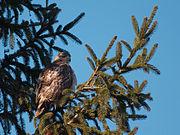 Hawk 3705.jpg
