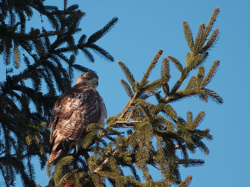 File:Hawk 3705.jpg