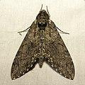 Hawk Moth (37925645486).jpg