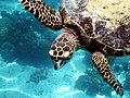 Hawksbill turtle on Pom Pom Island.jpg