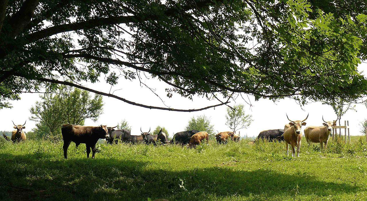 Heck cattle in Grube Leonie.JPG
