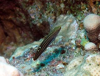 Hectors goby species of fish