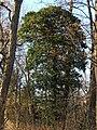 Hedera Helix Robinia Rhine Valley FRG 02.jpg