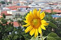 Helianthus annuus - flower view 01.jpg