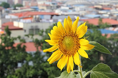 Helianthus annuus - flower view 01