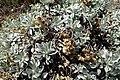 Helichrysum argyrophyllum kz01.jpg