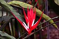 Heliconia angusta Red Holiday 2zz.jpg