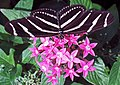 Heliconius charitonius (zebra longwing butterfly) (Florida, USA) 5 (17072414438).jpg