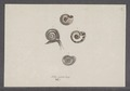 Helix neglecta - - Print - Iconographia Zoologica - Special Collections University of Amsterdam - UBAINV0274 089 01 0029.tif