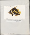 Heniochus chrysostoma - 1700-1880 - Print - Iconographia Zoologica - Special Collections University of Amsterdam - UBA01 IZ13100205.tif