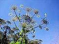 Heracleum mantegazzianum - Berce du Caucase 2.JPG
