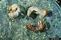 Heterorhabditis bacteriophora at Scarabaeidae larva.jpg