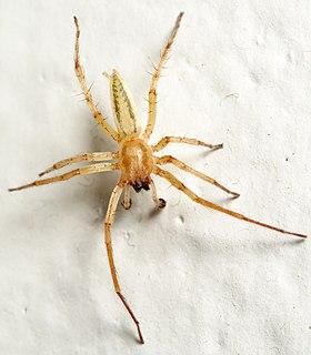 Anyphaenidae