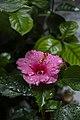 Hibiscus (Pink) 03.jpg