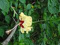 Hibiscus rosa sinensis an ornamental variety - Flickr - lalithamba.jpg