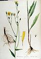Hieracium rigidum — Flora Batava — Volume v13.jpg