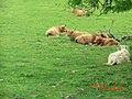 Highland Cows on the Isle of Mull - panoramio.jpg