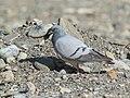 Hill Pigeon (Columba rupestris) (28031842509).jpg