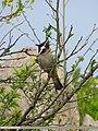 Himalayan Bulbul (Aves Tennantus) (15707604219).jpg
