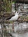 Himantopus himantopus -Edithvale Wetlands, Mornington Peninsula, Melbourn, Victoria, Australia -juvenile-8.jpg
