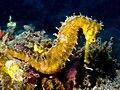Hippocampus hystrix (Spiny seahorse) yellow.jpg