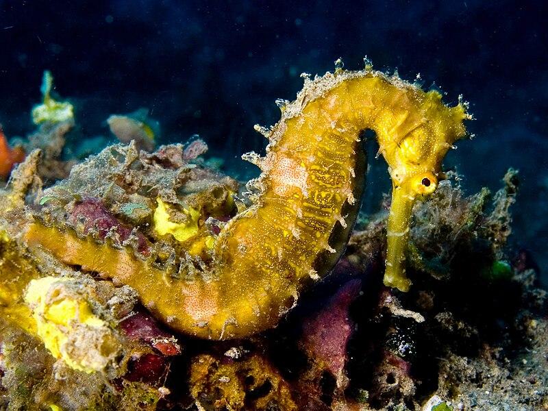 Fájl:Hippocampus hystrix (Spiny seahorse) yellow.jpg