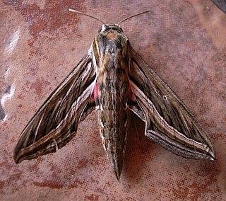 <i>Hippotion celerio</i> Species of moth