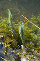 Hippuris vulgaris cahon-gouy 29082007 2.jpg