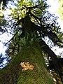 Hoh rainforest tall tree leaves fall cbubar 2015 (23110130341).jpg